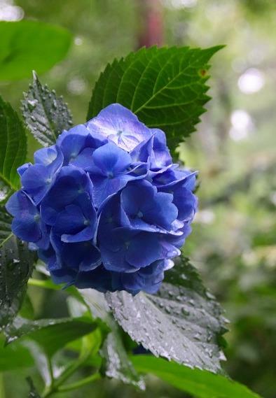 青色アジサイ